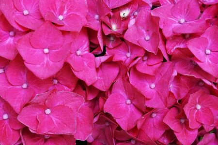 hortensia flowers texture as very nice natural background