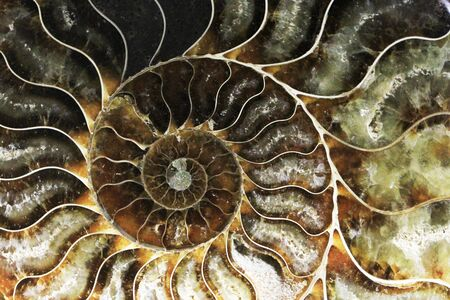 ammonite fossil texture as very nice natural background Фото со стока