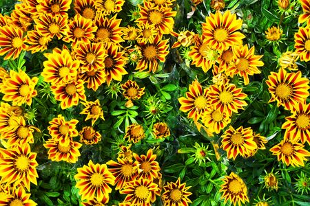 gazania flowers texture as very nice background Banque d'images