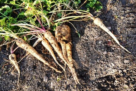 parsley root on the soil as nice agriculture background