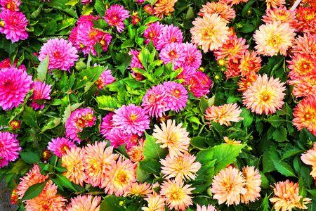 color dahlia flowers texture as very nice background Archivio Fotografico