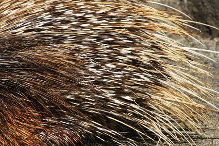 porcupine animal texture as very nice background Archivio Fotografico