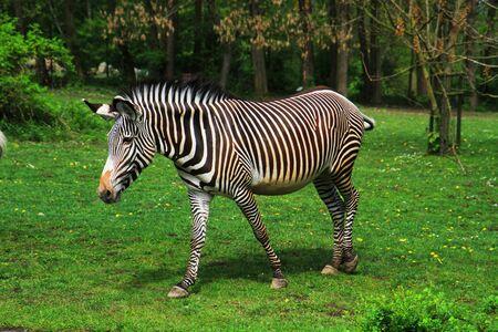 zebra animal is resting in the garden Foto de archivo