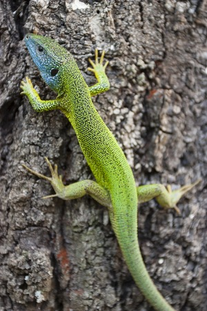 Blue and green lizard relaxes on tree. Moldova