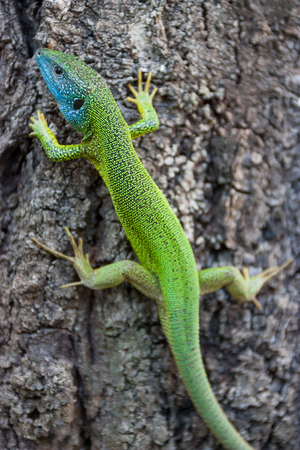 Blue and green lizard relaxes on tree. Photo
