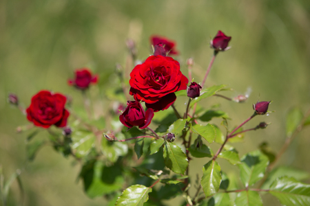Bush of red roses on green background Photo. Stock Photo