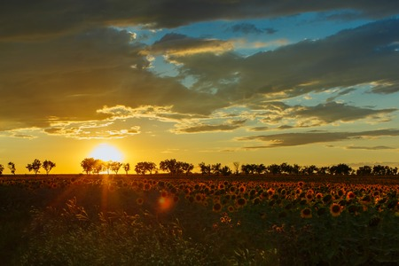 Beautiful sunset over a field with blooming sunflowers. Horizontally framed shot. Stock Photo