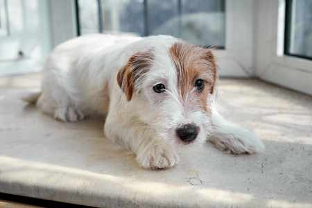 Portrait Jack Russell Terrier dog. Lies on a stone windowsill. Horizontally framed shot. Stock Photo