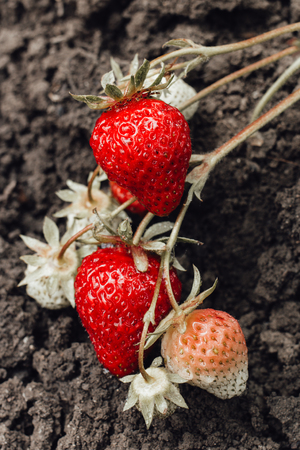 Red and green strawberries growing in the garden. Watered with water. Vertically framed shot.