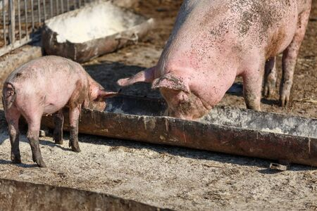 Sow and her little pig eat out of a bowl. Livestock farm. Horizontally framed shot. Stock Photo