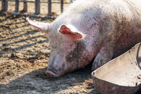 A big pink pig is sleeping next to his trough for food. Livestock farm. Horizontally framed shot.
