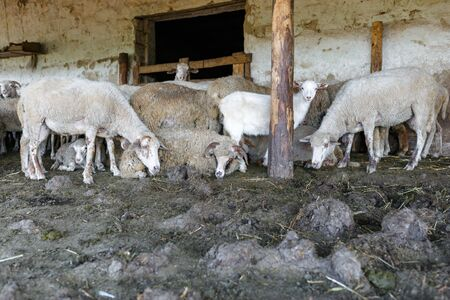 A herd of sheep and a white goat rested in paddock. Livestock farm, flock of sheep. Horizontally framed shot. Stock Photo