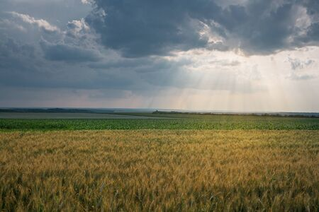 Fields of Golden wheat and green corn. Blue sky with feathery clouds and rays of the setting sun. Agriculture and farming concept. Horizontally framed shot.