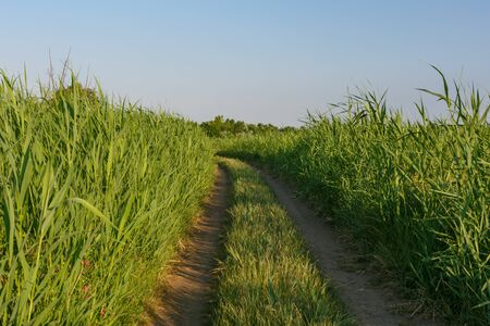 Country dirt road through tall green reeds. Blue sky. Horizontally framed shot. Stock Photo