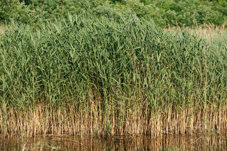 Beautiful young tall reeds growing in the water. Horizontally framed shot.