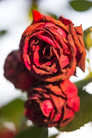Bushes of fading roses. Drying flowers. Dying beauty. Vertically framed shot.