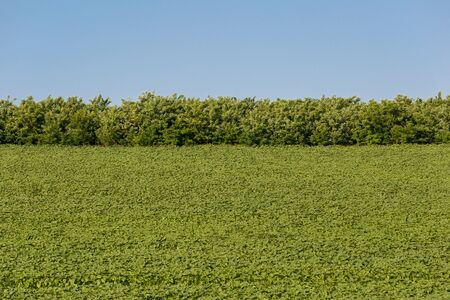 Tobacco field and trees. Blue sky. Agriculture and farming concept. Horizontally framed shot.