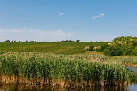Beautiful young tall reeds growing in the water.In background are agricultural fields and a country road. Horizontally framed shot. Stock Photo