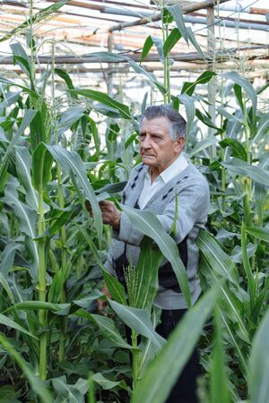 An old gray haired farmer in a corn garden. Checks the condition of plants. Concept of manual labor and home garden. Vertically framed shot.
