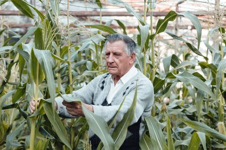 An old gray haired farmer in a corn garden. Checks the condition of plants. Concept of manual labor and home garden. Horizontally framed shot.