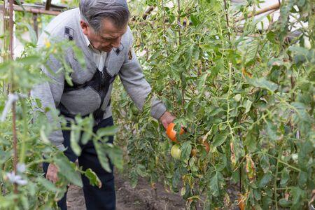 Old gray haired farmer in garden among tomato bushes. Checks the crop. Concept of manual labor and home garden. Horizontally framed shot.