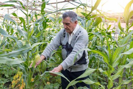 An An old gray haired farmer in a corn garden. Checks the crop. Concept of manual labor and home garden. Horizontally framed shot. Banco de Imagens