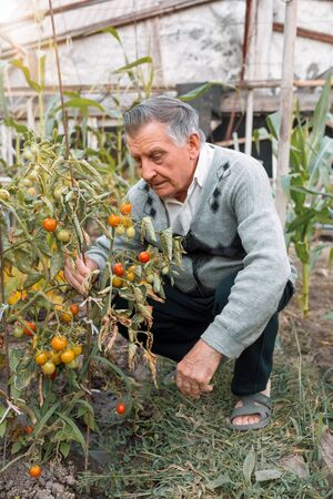 Old gray haired farmer in garden among tomato bushes. Checks the crop. Concept of manual labor and home garden. Vertically framed shot.