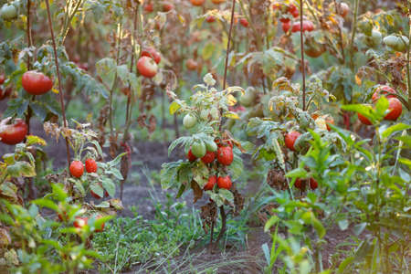 Tomato bushes growing in the garden. Organic agriculture, farming concept. Horizontally framed shot. 版權商用圖片