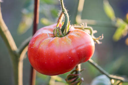 A large red tomato grows on a bush. Organic agriculture, farming concept. Horizontally framed shot. 版權商用圖片