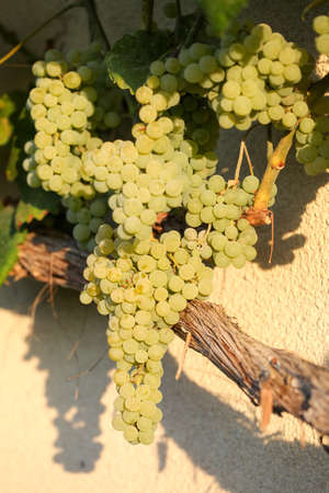Bunches of green grapes. Organic agriculture, farming concept. Vertically framed shot.