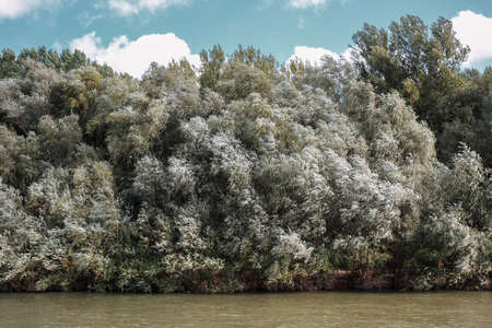 Willows on the river Bank. Horizontally framed shot. 版權商用圖片