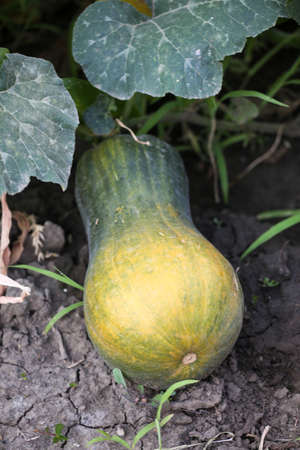 Green pumpkin. Organic agriculture, farming concept. Vertically framed shot. 版權商用圖片