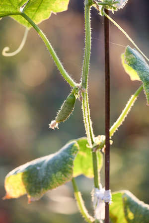 A small cucumber grows on a bush. Organic agriculture, farming concept. Vertically framed shot.