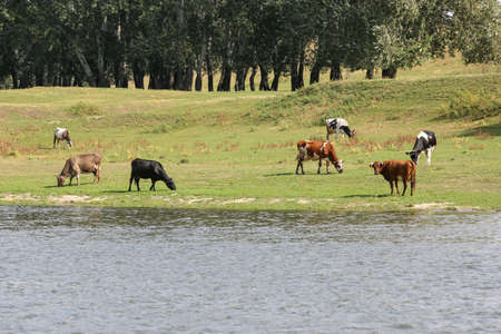 Cows grazing peacefully on the river bank. The concept of agricultural life. Horizontally framed shot. 版權商用圖片
