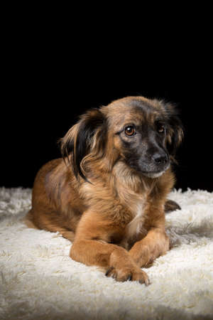 A beautiful dog on a white blanket. Studio photo on a black background. Vertically framed shot. Banque d'images