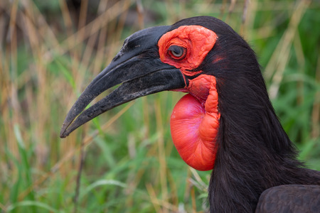 A Southern ground-hornbill with it sooty plumage and bright red face and throat in the Kruger National Park, South Africa.
