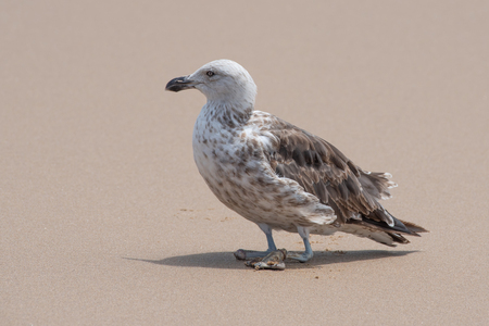Pollution and human waste products take their toll on wild animals. Pictured is a juvenile kelp gull which has already lost one foot and is about to lose the other due to what appears to be entangled fishing line. Banque d'images