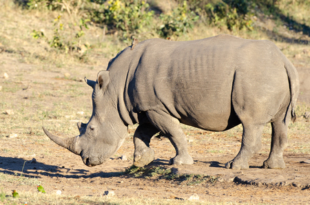 White rhinoceros (Ceratotherium simum) are earths second-largest land mammals. Rhinos are endangered due to incessant poaching for their horns, which some people believe have medicinal properties.