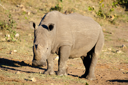 White rhinoceros (Ceratotherium simum) are earth's second-largest land mammals. Rhinos are endangered due to incessant poaching for their horns, which some people believe have medicinal properties.