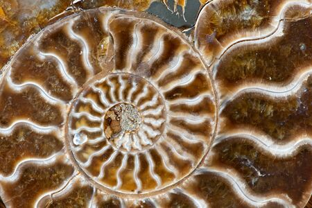 Ancient ammonites, also referred to as ammonoidea or ammonoids, are an extinct form of marine mollusc closely related to modern celoids, such as squid and octopus
