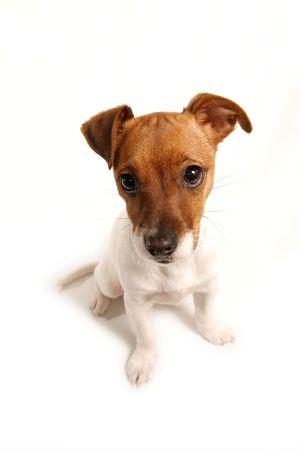 Cute Jack Russell Terrier en blanco Foto de archivo - 2683106