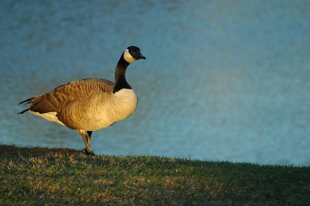 Goose stands on grass photo
