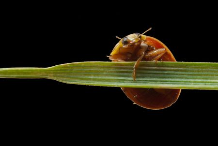 A close up macro shot of a ladybug holding onto a blade of grass. Stock Photo