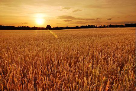 wheat grain: Field of wheat at sunset