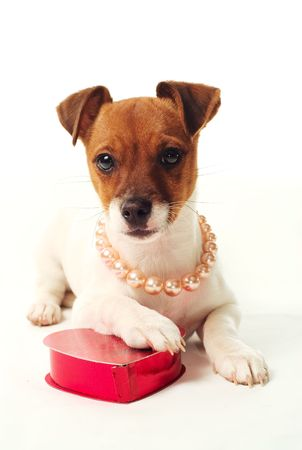 pleading: Cute Jack Russell Terrier puppy on white background with heart shaped candy box