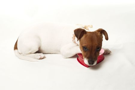 Cute Jack Russell Puppy on white background Stock fotó