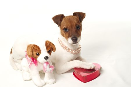 Cute Jack Russell Puppy on white background photo