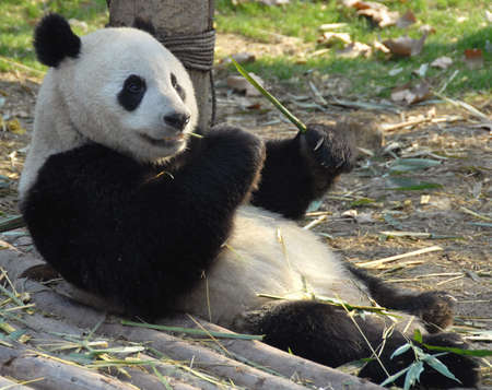 Giant Panda at Chengdu Panda Reserve (Chengdu Research Base of Giant Panda Breeding) in Sichuan, China. Giant pandas, pandas, Chengdu, reserve, bamboo Stockfoto