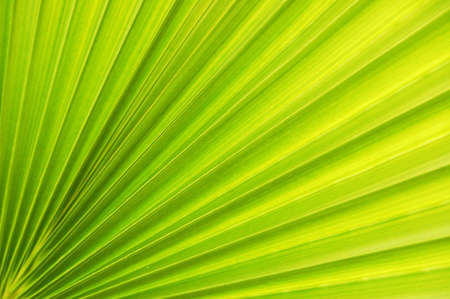 beautiful texture of the palm leaf Stock Photo