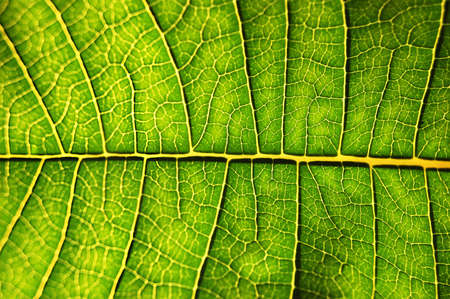 close-up of backlighted leaf Stock Photo